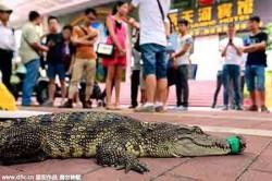 Con cá sấu bị buộc chặt miệng đang chờ để được các ứng viên xinh đẹp hôn.